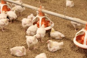 Nutrition is Important in Broiler Chicken Feed
