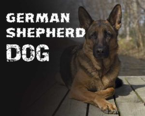 Guideline for Preparing a Meal Plan for a German Shepherd Dog