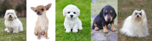Five Dog Breeds That are Suitable for Keeping inside the House