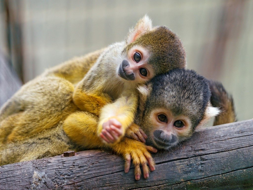 Capuchin Pet Monkeys