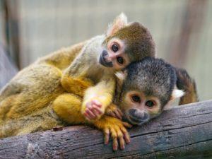 Capuchin Pet Monkeys