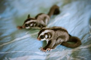 Sugar Glider Pet Shop - How to Choose a Sugar Glider
