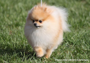 Pomeranian Information – 10 Quick Facts