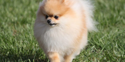 POMERANIAN INFORMATION - 10 QUICK FACTS